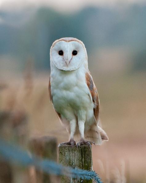 barn_owl_stare_by_pixellence2-d5b38w3